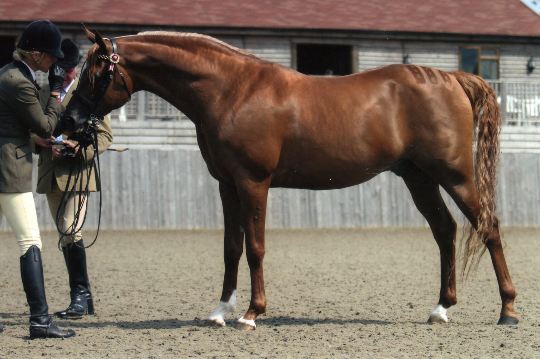 Our Arabian Stallion SG Palesstreem by World champion stallion Esteem